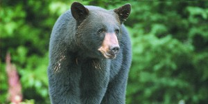 Black bear forages in Granville