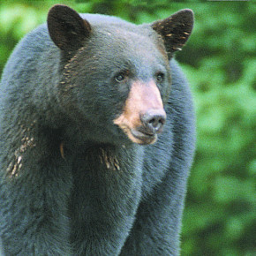 A bear like the one pictured here continues to ply Granville's garbage cans for an easy meal, prompting officials to advise residents to secure thier garbage.