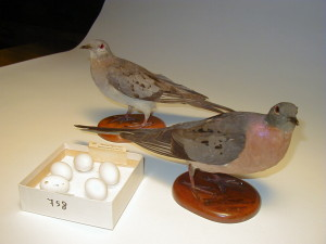Rare specimens help Pember support pigeon project