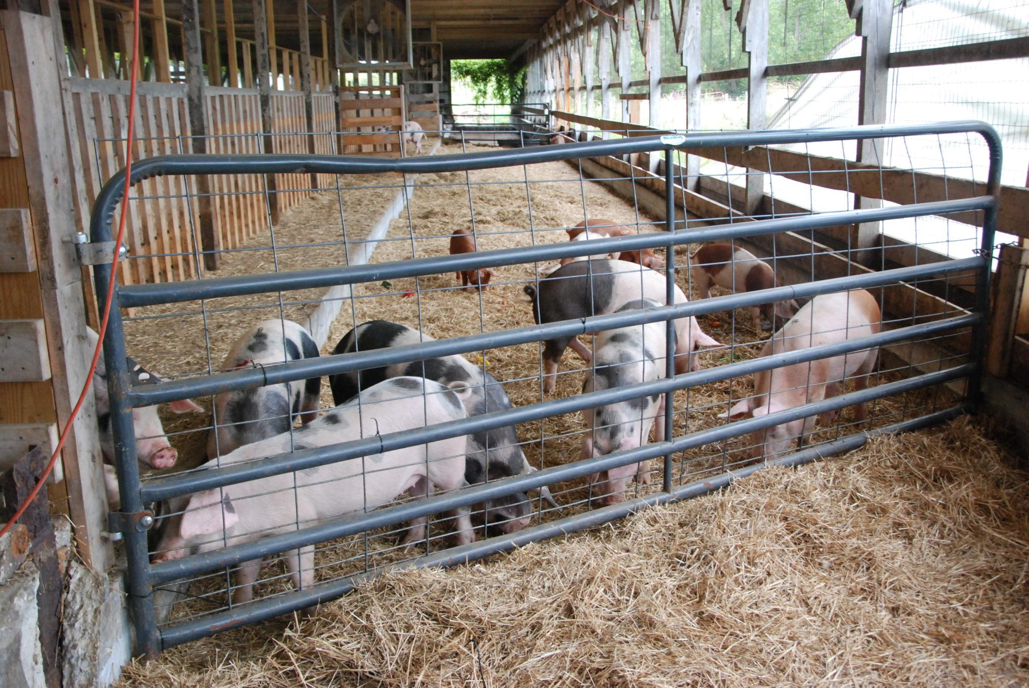Village debates, OKs pig farm