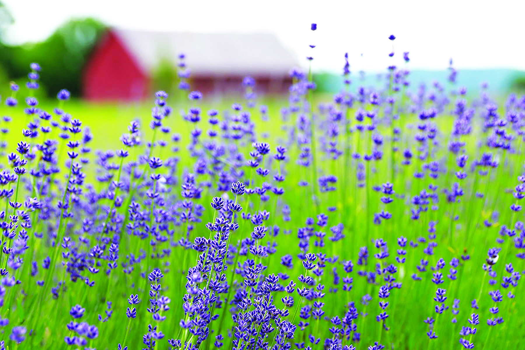 Lavender farm opens in June