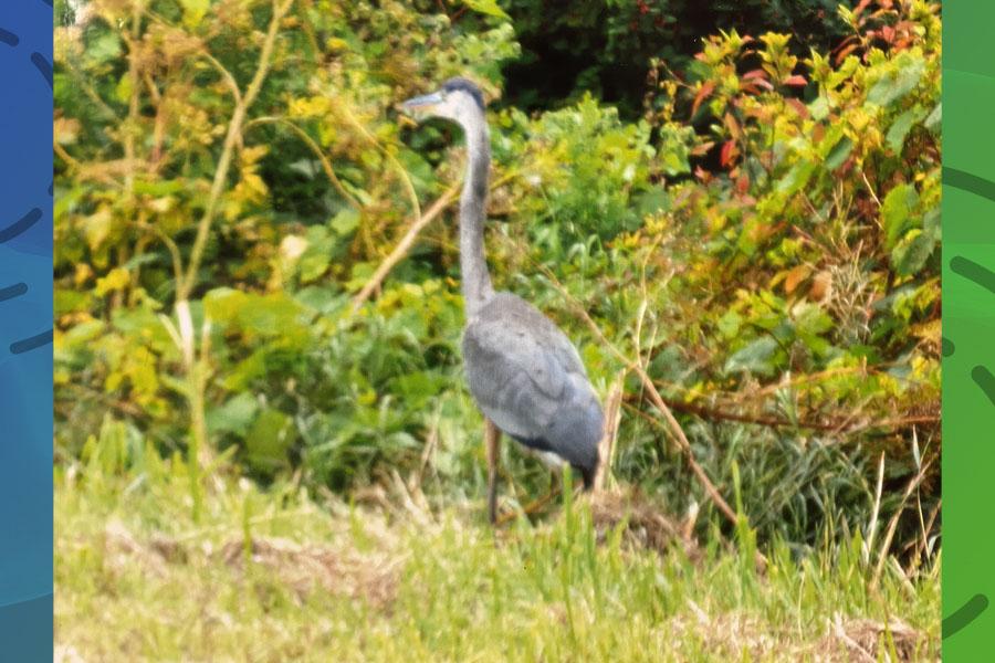 Whitehall man rescues blue heron